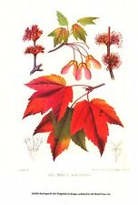ART PRINT~Red Maple 2007 Tree Floral Original Home Decor Poster by Sprague New~