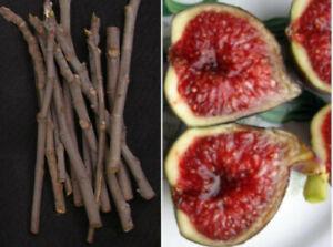 6 CUTTINGS Black Madeira LIVE fig tree Leaves Figo Preto Ficus carica Caralheto