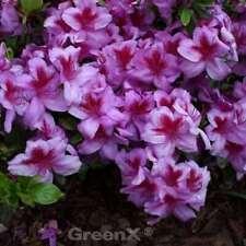 Zwerg Alpenrose Rhododendron obtusum Japanische Azalee Rosalind 30-40cm