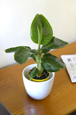 Indoor Plant -House or Office Plant -Musa dwarf Tropicana-Banana Tree 30cms Tall
