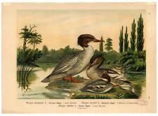 Säger-Vögel-Ornithologie-Mergus merganser - Lithographie Naumann um 1900
