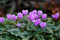 CYCLAMEN SEEDS CHOICE MARBLED LEAF FORMS PINK AND WHITE FLOWERS 100 FRESH SEEDS