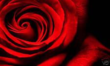 RED ROSE CANVAS ART FLORAL ARTWORK ON BLACK FRAMED A1