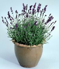 0.2g (approx.180) true lavender seeds LAVANDULA AUGUSTIFOLIA spice and medicinal
