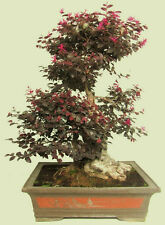 Loropetalum Chinense var. rubrum 'Daruma' exotic bonsai rare plant seed -5 seeds