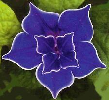 Picotee Blue Morning Glory - 10 Seeds - Easy to Grow!