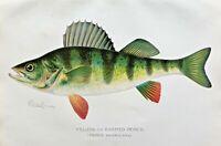 1899 RARE Antique DENTON FISH Print YELLOW or BARRED PERCH Perca americana NICE!