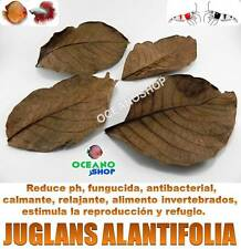 12 HOJAS JUGLANS AILANTIFOLIA uso como almendro indio terminalia catappa gambas