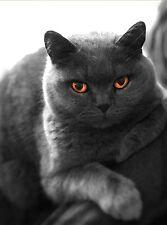 British siamois chat bleu toile photo print 30x20cm (12x8in)