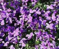 """Duft-Veilchen """"Viola odorata"""", ein blau blühender Frühlingsbote - winterhart !"""