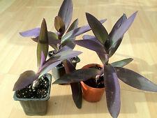 Purple Heart , Wandering jew , Purple queen ( tradescantia pallida ) * 1 PLANT *
