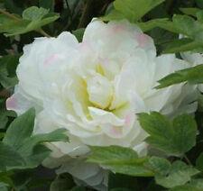20 Luminous light White China's Peony Seeds Paeonia suffruticosa Tree DIY Garden