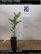 Grumichama - Black (Eugenia  brasiliensis) Fruit Tree Plant