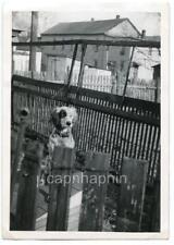 Beautiful DOG Peeks Across Fence Long Haired Dalmation? Vintage 1940s Photo