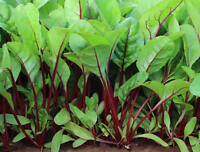 Red Veined Spinach - BULK 100 Seeds - A Very Tasty & Attractive English Spinach
