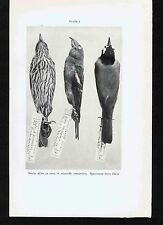 Haiti Bird Skins for Scientific Research -1931 Smithsonian Print
