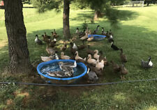 12+ Mystery Duck Hatching Eggs