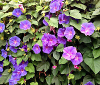 MORNING GLORY MIXED COLORS Ipomoea Purpurea - 100 Seeds