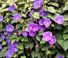 Morning Glory Mixed Colors Ipomoea Purpurea - 100 Seeds