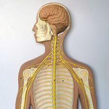Anatomical Human Nervous System Model - Medical Skeleton Anatomy