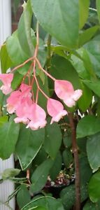 10 Semi and Hardwood Stems from a PINK ANGEL WING BEGONIA easy to root. SALE