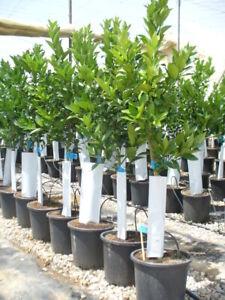 Citrus lima / Limettenbaum sauer, Lima bears, mehr jährig, 130-150cm hoch