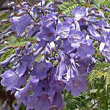 Jacaranda mimosifolia, BLUE JACARANDA TREE, Ferny Foliage, Long Blooming ~SEEDS~