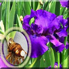 3 Iris Bulb - Tall Bearded Blue His Royal Highness Live Plant large Bulb