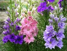 Seeds Rare Delphinium Low Mix Flower Annual Outdoor Garden Cut Organic Ukraine