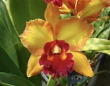 Blc David Dolge 2.5� Splashy Yellows And Stripes Expected 12)