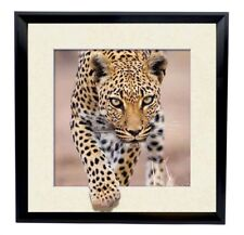 AMAZING 5d Picture FRAMED Of Leopard. LOOKS LIKE COMING AT YOU