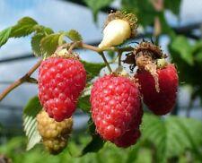 Raspberry Bush Malling Minerva 3L Large Edible Soft Fruit Plant Patio Garden