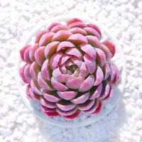 Succulent Live Plant - Echeveria Violet Queen 4cm -Home Garden Lovely Rare Plant