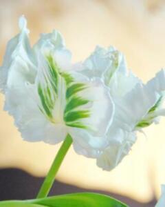 Tulip Hybrid White Parrot - 12 Bulbs Per Pack Spring Flowering
