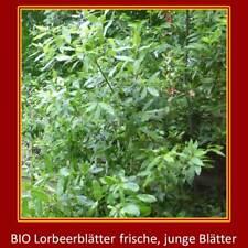 40 frische Bio Lorbeerblätter,Lorbeer,frisch geerntet,grün verschickt,Gewürze