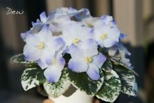 Variegated Miniature African Violet 'Shirl's Hawaiian Lei' - Starter Plant