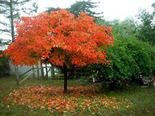 American Persimmon tree (Diospyros virginiana 'American) quart pot