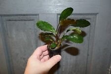 "Bucephalandra 'amplia hoja verde"" - Hardy planta acuática"