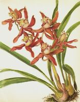 Antique Botanical ORCHID Print Vintage Red Flower Print Cymbidium Adrian 3719-70