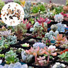 100Pc Mixed Rare Succulents Seeds Easy To Grow Potted Flower Seeds Bonsai Seeds