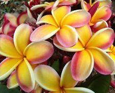 "ten(10) lei rainbow plumeria cuttings 7-10 "" from mature tree"