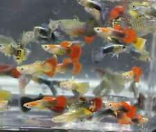 X25 GUPPY PACKAGE FISH LIVE TROPICAL COMMUNITY MIX - FREE SHIPPING