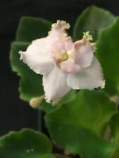 African Violet Plant- Morgan's Windorah (semiminiature)