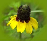 Coneflower Clasping-(Echinacea )- 250  seeds