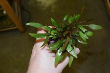 Cryptocoryne petchii - Amazing Aquatic Plant