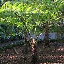 Urzeitlicher Schuppen-Baumfarn (Cyathea / Sphaeropteris cooperi) Portion Sporen