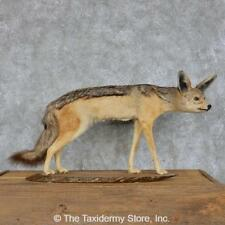 #13115 N | Black Backed Jackal Life Size Taxidermy Mount <> Coyote