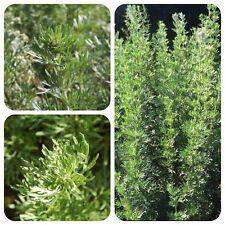Vero VERMOUTH Artemisia absinthium assenzio-VERMOUTH Heil pianta räucherpflanze