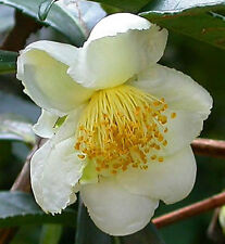 Camellia sinensis sinensis   Tea Plant   5_Seeds