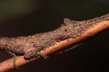 """RARE SPECIES Paraprisopus antillarum """"Guadeloupe"""""""" x30 EGGS"""